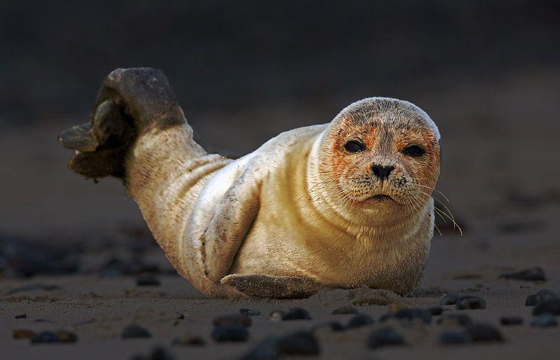 Jonge zeehond op het strand van Menno Schaefer