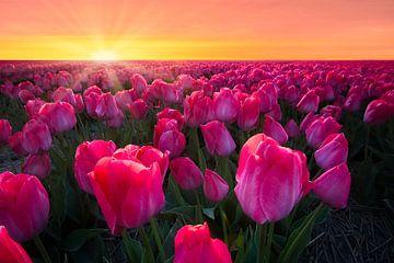 Tulpenfeld bei Sonnenuntergang von Dirk-Jan Steehouwer