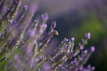 Lavendel Valensole 8 van Vincent Xeridat