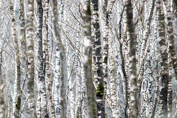 Birkenwald-Tapete von Gerard van Roekel