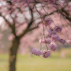 Japanse kersenbloesem van Moetwil en van Dijk - Fotografie