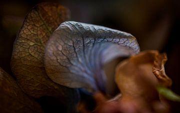 Gekrulde bloembladeren van een Hortensia van Jenco van Zalk