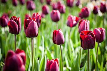 Tiefrote Tulpen in Blüte auf einem Feld von Simone Janssen