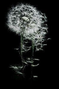Waar de wind waait waaien mijn zaadjes