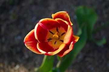 De rode Tulp met een zacht geel randje van tiny brok
