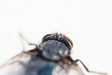 Die Fliege von Antoine Deleij