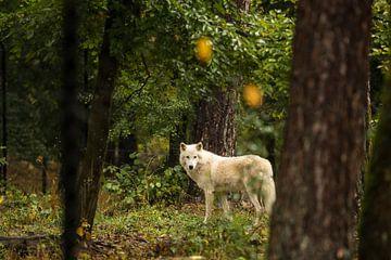 Wolf van Marinella Geerts