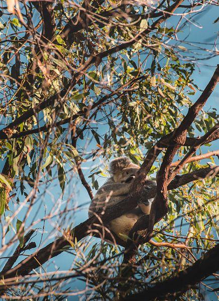 Koala im Baum von Bob Beckers