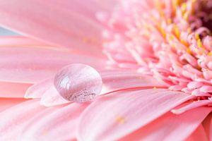 Druppel op roze Gerbera bloem