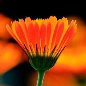 Königliches Orange