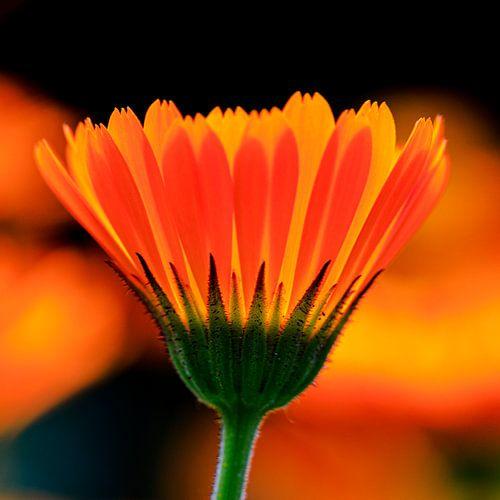 Koninklijk Oranje