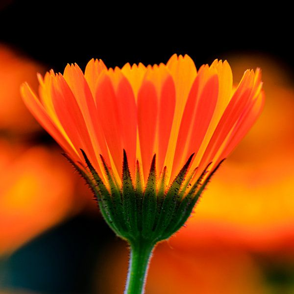 Königliches Orange von Dick Jeukens