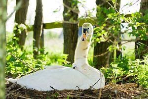 Zwaan met jong. van KO- Photo