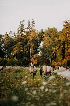 Konik paard in natuurgebied tijdens zonsondergang | foto print | van Yvette Baur