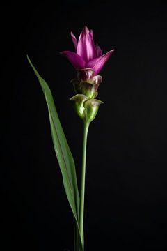 Foto einer lila Siamesischen Tulpe von Florence Schmit