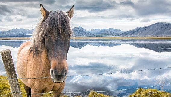 Ijslands paard van Niels Hemmeryckx