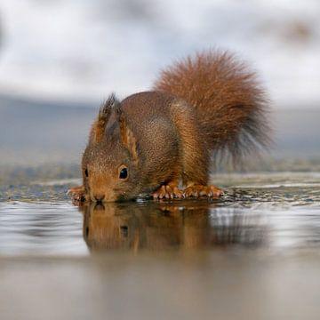 Drinkende eekhoorn sur Miranda Bos