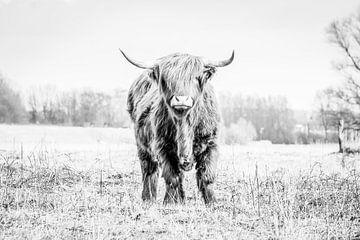 Schottischer Highlander im Gras von Henk Hulshof
