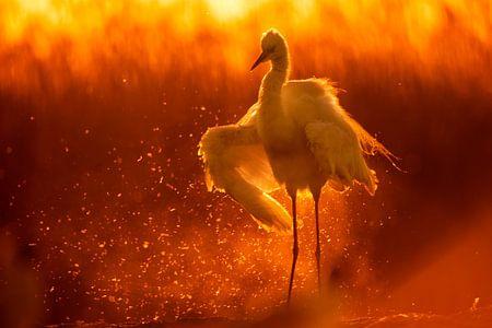 Großer Reiher (Egretta alba) badet im Licht des frühen Morgens.
