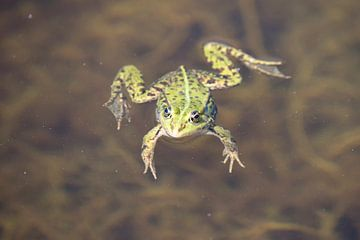 Kikker in het water van Barbara Brolsma