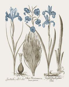 Basilius Besler-Iris und Lilie V