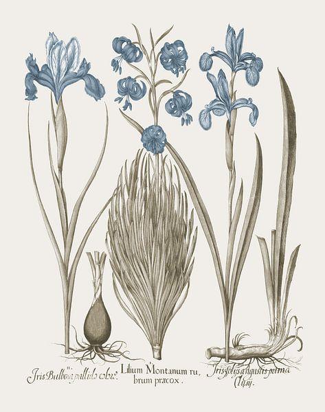 Basilius Besler-Iris und Lilie V von finemasterpiece