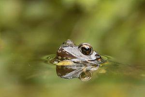 Bruine kikker (Rana Temporaria) , Common frog , Grass Frog , Grasfrosch , Grenouille rousse