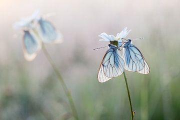 White butterflies together sur Judith Borremans