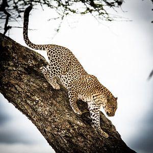 Luipaard in de boom van