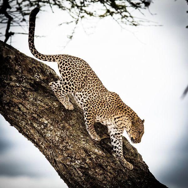 Luipaard in de boom van Leon van der Velden