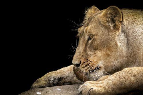Leeuwin genietend van een stuk vlees