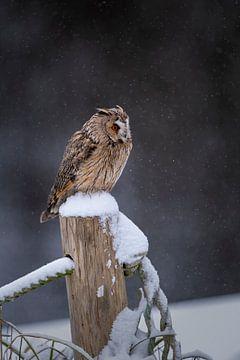 Chouette des marais dans la neige sur Freddy Van den Buijs
