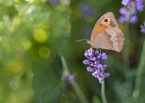 Vlinder en lavendel van