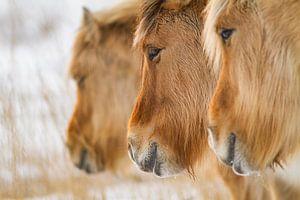 Noorse Fjordenpaarden op een rij