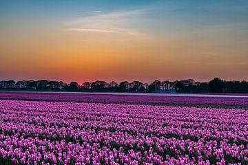 Ein Tulpenfeld bei Sonnenuntergang von Fred van Bergeijk