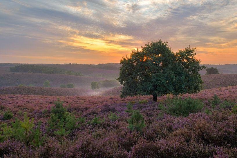 Zonsopkomt Posbank met paarse heide, Hoge Veluwe van Jos Pannekoek