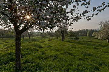 boomgaard vol bloesem von Wim Roebroek