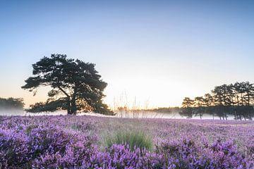 Zonsopgang over bloeiende heide op de Veluwe in de zomer van Sjoerd van der Wal