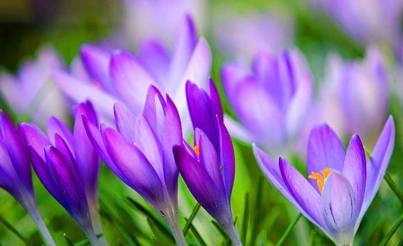 Krokussen ; De lente ontwaakt