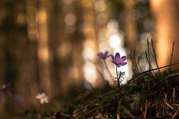 Leverbloemen in het voorjaarsbos van Yvonne Albe