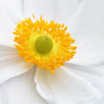 Anemone von Violetta Honkisz