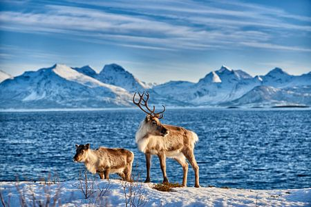 Rentier am Meer vor schneebedeckten Bergen