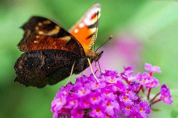 Magnifique papillon (paon) sur un buisson de papillons. sur GiPanini