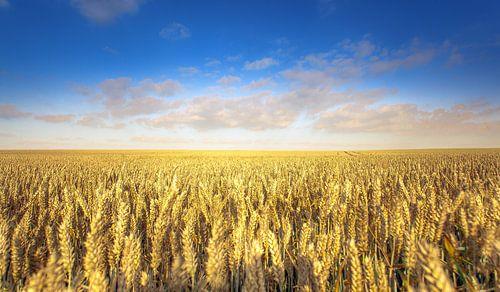 Weizenfeld im Sommer