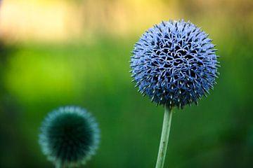 bloem van Frencis van Run