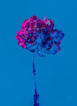 Hydrangea van Teis Albers