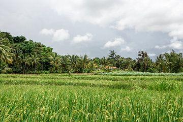 Reisfelder zwischen den Wolken. von Mickéle Godderis