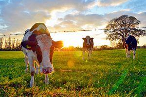 Koeien bij zonsondergang von Jaimy Buunk