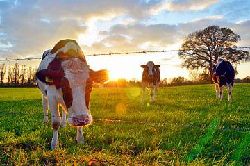 Koeien bij zonsondergang van Jaimy Buunk