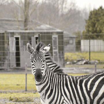 Hallo Zebra mit Ihren schönen schwarz-weißen Streifen von J..M de Jong-Jansen